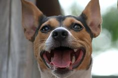 Rat Terriers can smile ... ;0)