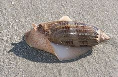Live specimen of Oliva sayana showing many of the features of another sand dwelling active predatory snail (Sharks Eye Moon) - with a large foot eveloping a smooth, streamlined shell. Sunset Beach, South Carolina.