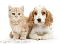 Orange roan Cocker Spaniel pup with ginger kitten