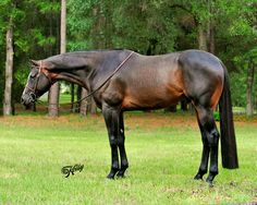 A Chance For Romance, AQHA Hunter Under Saddle Stallion. Great up and coming stud.