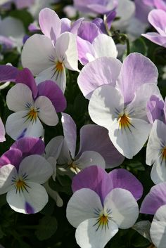 Lots of Lovely Pansies