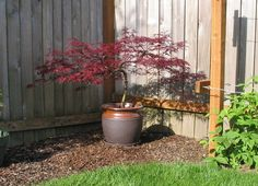 dwarf japanese maple tree for container - Garden Shrubs, Zen Garden, Japanese Maple Garden, Japanese Maple Tree, Garden Design, Garden Containers, Potted Trees, Japanese Garden, Outdoor Plants