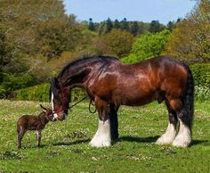 A Shire horse with his little pet donkey