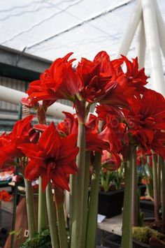 Amaryllis Double Delight