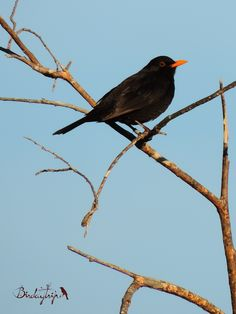 Blackbird, Mirlo común (Turdus merula)