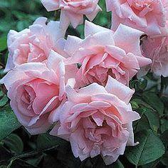 New Dawn (Climbing rose) - good for shade
