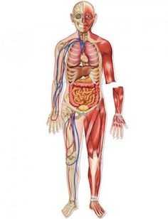 Some Facts About The Human body- those sure were interesting facts