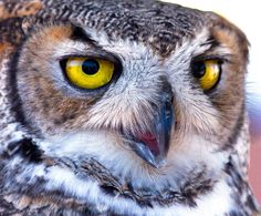 Face of the Great Horned Owl (c) Dave Dise (via Ayman)