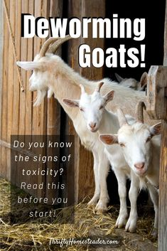 Includes correct dosages for dewormers, as well as best practices and how to avoid dewormer resistance. #deworminggoats #raisinggoats #keepinggoats Breeding Goats, Happy Goat, Nigerian Dwarf Goats, Raising Goats, Emergency Care, Baby Goats, Over Dose, Homesteading, Animals