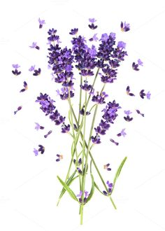 Lavender flowers by LiliGraphie on Creative Market
