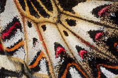 Close up details of wing Southern Festoon Butterfly, Zerynthia polyxena photography by:  Darrell Gulin