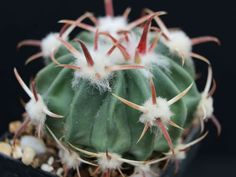 Echinocactus texensis (Horse Crippler) is a stout barrel cactus, solitary when young and very rarely slowly clustering in age. The stem is. Cacti And Succulents, Cactus Plants, Surat Thani, Barrel Cactus, Green Houses, Catus, Agaves, Desert Plants, Cactus Y Suculentas