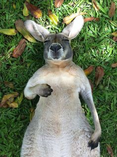 A happy kangaroo is. A happy kangaroo. Can't wait to visit the Australia Zoo and see all of the wildlife! Animals And Pets, Baby Animals, Funny Animals, Cute Animals, Cute Creatures, Beautiful Creatures, Animals Beautiful, Wombat, Tier Fotos