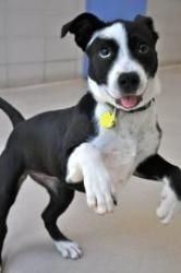Midori- Staff Pick! is an adoptable Pit Bull Terrier Dog in Milwaukee, WI. Lisa could not pass up choosing Midori as her staff pick because she may just be the sweetest, goofy dog she has ever met. He...
