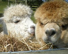 Adopt a rescued Alpaca for Seriously Mum, What's An Alpaca by Alan Parks
