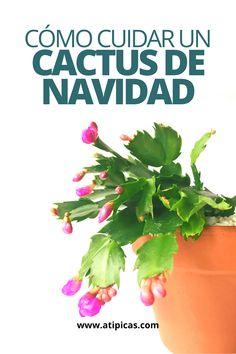 Cómo cuidar Schlumbergera, Cactus de Navidad o Santa Teresita.  Cuidados y reproducción del cactus de navidad.  Identificación de suculentas, identificación de cactus, nombres de cactus, nombres de suculentas, cactus de jungla, cactus con flores, floración de cactus, floración de suculentas. Terrace Garden, Indoor Garden, Home And Garden, Learn Portuguese, Tomato Plants, Cactus Y Suculentas, Green Garden, Begonia, Planting Succulents