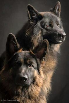 Wicked Training Your German Shepherd Dog Ideas. Mind Blowing Training Your German Shepherd Dog Ideas. Big Dogs, I Love Dogs, Cute Dogs, Dogs And Puppies, Doggies, Beautiful Dogs, Animals Beautiful, Beautiful Pictures, German Shepherd Puppies