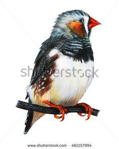 Finches bird drawing. Taeniopygia guttata. Chrysolophus pictus. Colored pencil drawing  Zebra Finch. Classicdrawing Zebra Finch. Detailed drawing Zebra Finch.