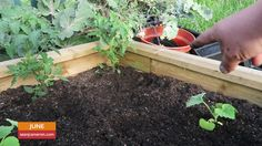 Planting Cucurbits & Celeriac - Sean's Allotment Garden #254 The greenhouse is starting to look empty as I plant the cucurbits (cucumber courgettes melons squash) into their final growing positions in the garden along with the celeriac; plus a tip when growing onions. Check out my blog at http://seanjcameron.com which also includes guides on how to grow vegetables herbs flowers and fruit. If you just want to show your appreciation that would also be very much appreciated! I now have a…
