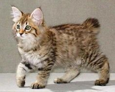 American Bobtail Cat For Sale Uk