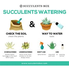 Succulents require a different watering style and schedule from other types of houseplants. Though you can experiment with your own succulents to find out what suits yours the most, this guide… Growing Succulents, Succulents In Containers, Cacti And Succulents, Growing Plants, Planting Succulents, Potted Plants, Garden Plants, Indoor Plants, House Plants