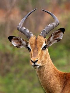 Impala Buck - photo by Thomas Retterath (Wild Dogger), via Flickr;  Kruger National Park, South Africa