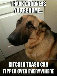 :) I love it that DOG's know they did something wrong and feel guilty - then you see that face and body language and you just laugh, hug them and kiss that adorable nose. Then they realize you're not to punish them and freak out - and they respond with joy and love.