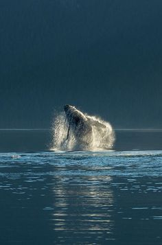 Humpback whale along the Canadian mainland, Northern British Columbia
