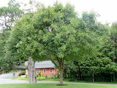 Where to buy San Diego shade tree Chinese Elm Ulmus parvifolia