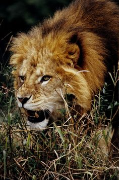 Lion 2 by Art-Photo on deviantART