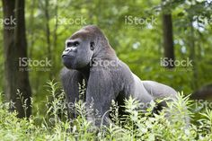 Make silverback gorilla in the forest of central Africa royalty-free stock photo
