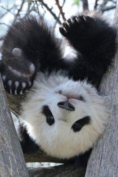 ~~Panda Upside Down by Josef Gelernter~~