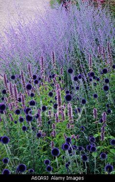 Echinops Veitchs Blue Perovskia Blue Spire Pensthorpe Millennium Garden Norfolk Blue purple Stock Image – Famous Last Words Plant Design, Garden Design, Purple Garden, Violet Garden, Lavender Garden, Mediterranean Garden, Garden Cottage, Prairie Garden, Perennials