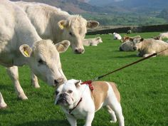 The Cow Dog | Why it matters: Because love knows no bounds, even if you're not quite ready (like this bull dog).