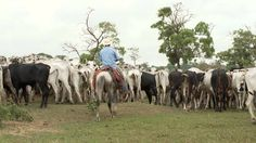 The effects of cattle ranching in South America Animal Agriculture, American Country, Livestock, Cattle, South America, Ranch, Horses, Animals, Gado Gado