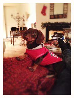 Waldi, miniature dachshund, taking a break from his toys.