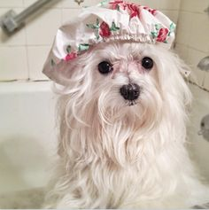 Junior's bath time.   Maltese Dog -1 yr old
