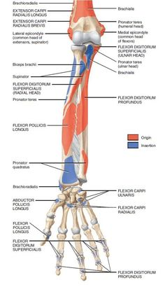 muscles of forearm origin and insertion Upper Limb Anatomy, Anatomy Study, Anatomy Reference, Muscle Anatomy, Body Anatomy, Human Anatomy, Anatomy Bones, Exercise Physiology, Anatomy And Physiology