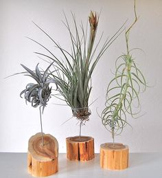 SINGLE AIR PLANTS ON ROUND CEDAR STANDS Stands from $32.-$36. Air plants shown from $10- $15. (Stands and plants individually priced.)