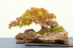 Trident maple Bonsai Forest, Bonsai Art, Bonsai Garden, Bonsai Trees, Garden Trees, Trees To Plant, Bonsai Flowers, Old Trees, Trident