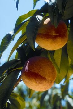 Grow Free Fruit Trees You can save big bucks growing peaches, apricots and nectarines from seeds. Tropic Snow Peach