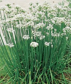 Chives - Buy and grow chive seeds and plants that produce a mild onion garlic flavor. Fill your garden with beautiful, starry white chive flowers that are tasty and have a sweet scent with long lasting chive seeds at Burpee. Herb Seeds, Garden Seeds, Garden Plants, Herb Plants, Garden Soil, Garden Art, Walkway Garden, Rockery Garden, Garden Fences