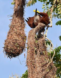 Montezuma Oropendola (Psarocolius montezuma) with nests, displaying its gurgling and bowing techniques.