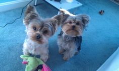 My 2 Yorkshire Terriers: Boo and Bella (celebrity name: BooBella).