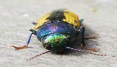 Buprestis is a genus of beetles in the family Buprestidae, the jewel beetles.