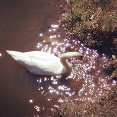 Source of Light. #swan #lake #nature