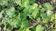 December Foraging - Motherwort, Mustard, Clover, Burdock, Watercress and Blackberry Leaves