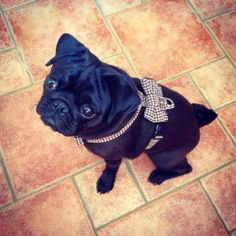 A gorgeous pug wearing our new Top Pooch Duke harness with a trendy bow tie added!! Available to buy now on toppooch.com #pug #cutepug #cutedogs