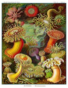 Vintage Ernst Haeckel Sea Anemone Art Print -  Victorian Era Science Illustration In Lush Colors On Archival Quality Paper