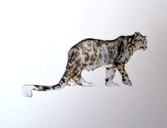 Snow Leopard (not used in book) Watercolour by Jackie Morris